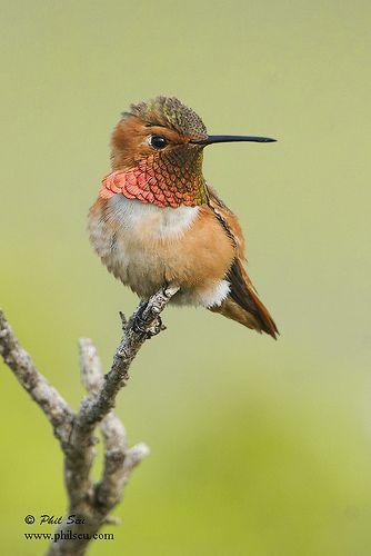Vertical image of a male Allen's Hummingbird