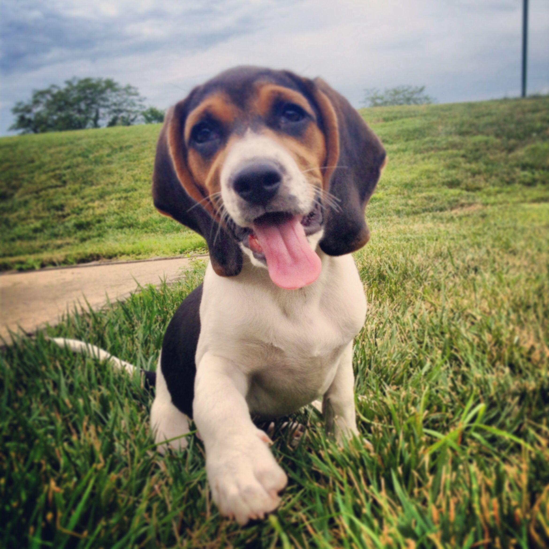 Blue Tick Beagle Puppy Buddy Lee S Friends All Beagles