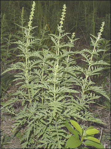 17 Best images about Ragweed on Pinterest | Severe allergy ...