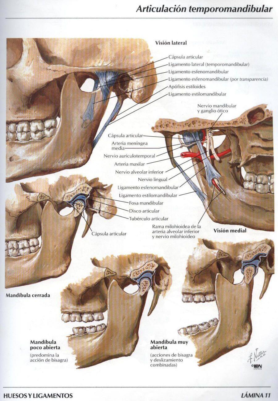 ligamentos de la atm - Buscar con Google | dental | Pinterest ...