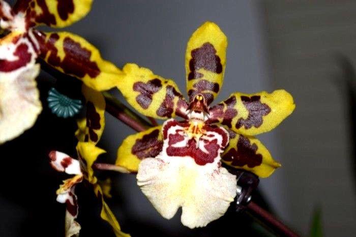 Ons Wildcat 13 Orchid Plant Orchids Orchid Plants Plants