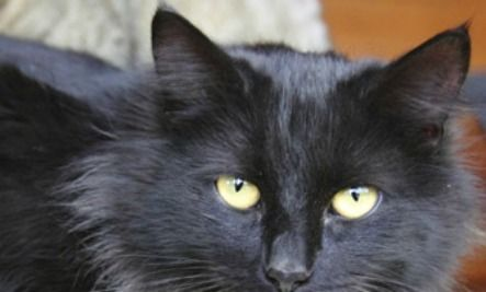 The Truth About Black Shelter Petsthey Are Likely To Be - Adorable photos of black shelter cats help them find their forever homes