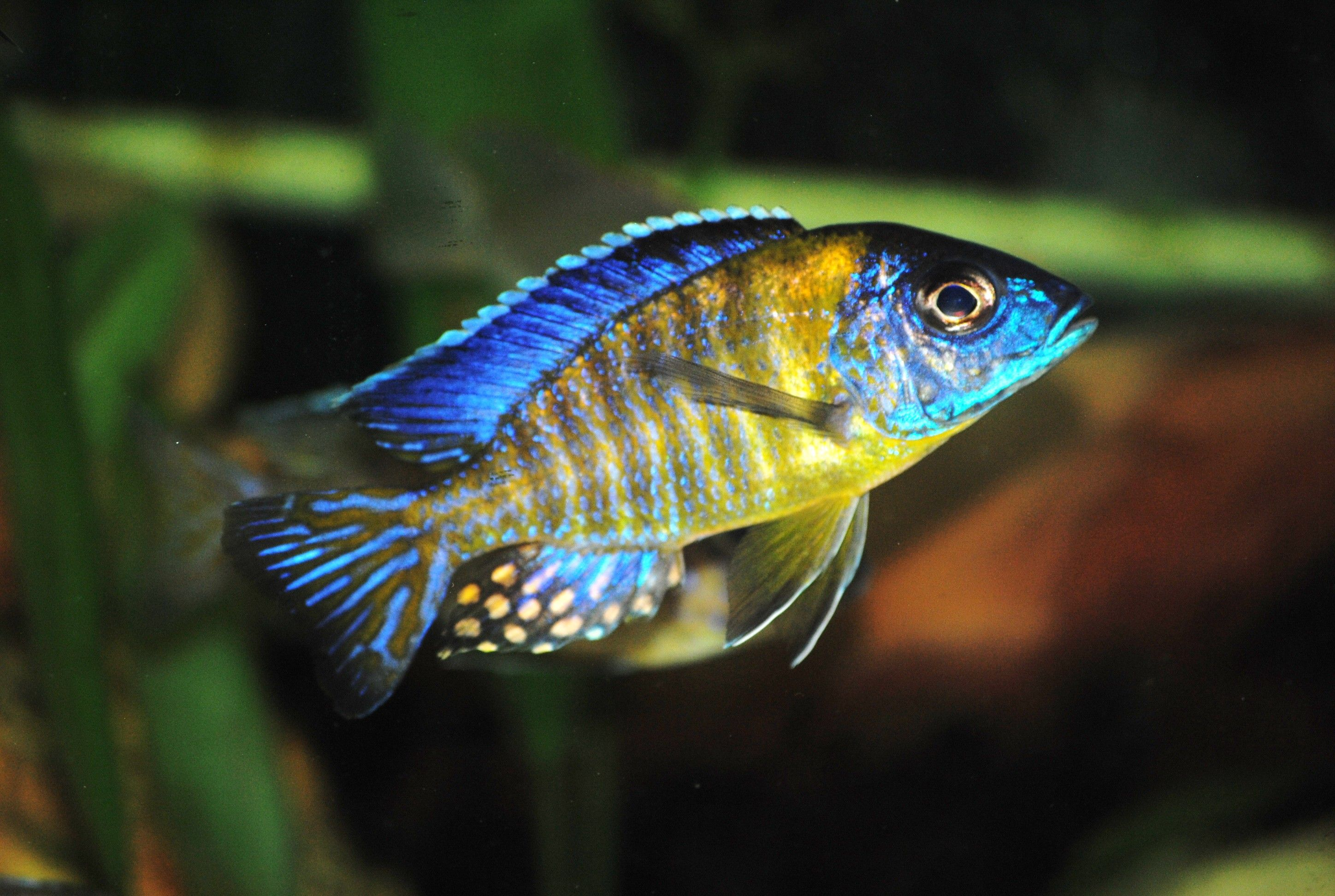 Grey and black tux and tail fish google search for African cichlid fish