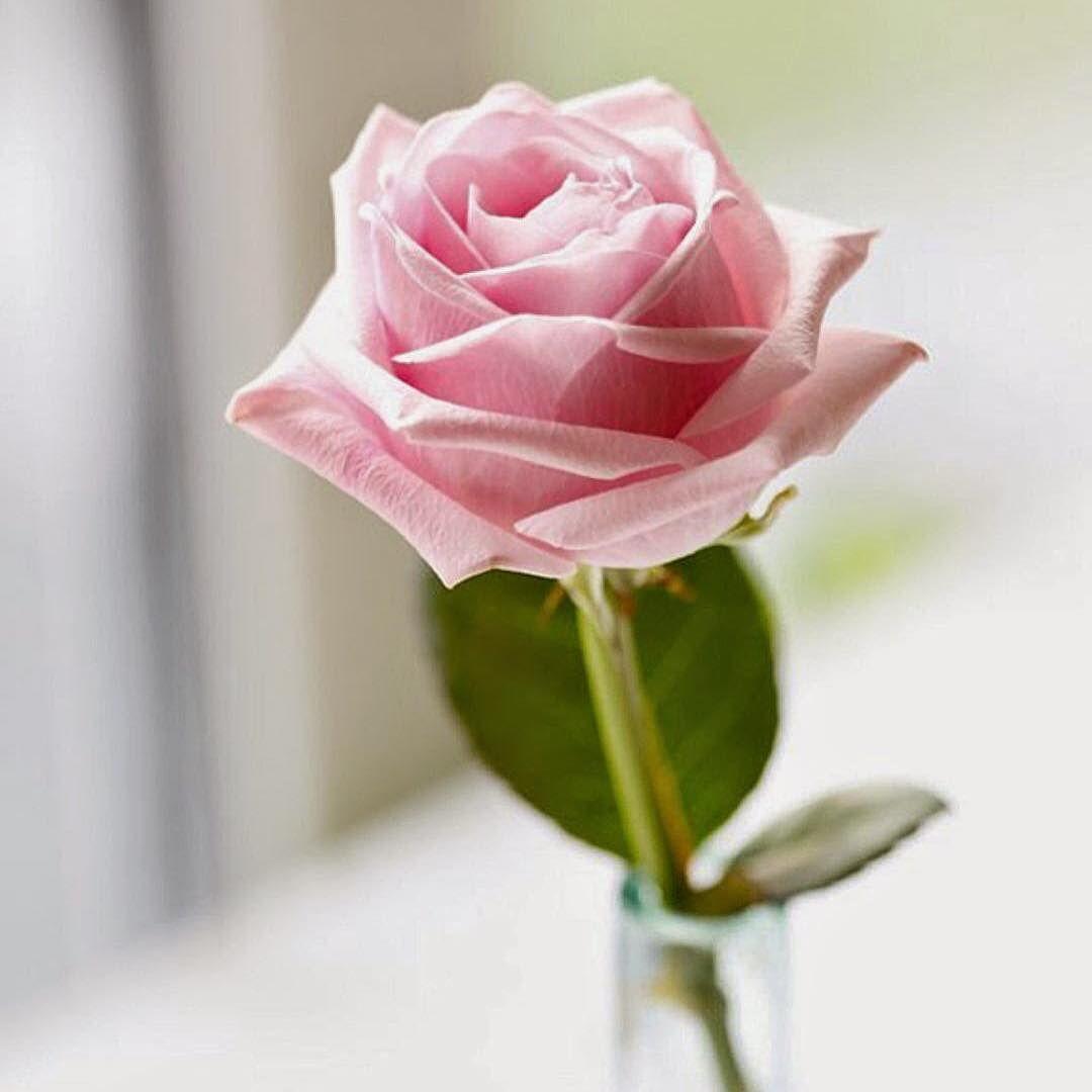 مصمم ومنسق كوشات وحفلات On Instagram منسق ومنظم حفلات الزواج والتخرج والمناسبات كوشات كنب ستاير لكامل القاعة ا Pink Rose Flower Flowers Beautiful Flowers