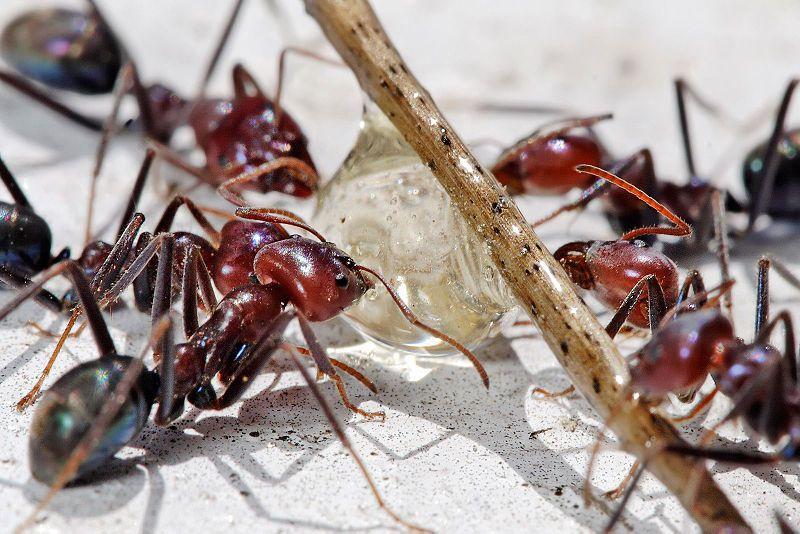 Ameisen bekmpfen Hausmittel gegen Ameisen im Haus und