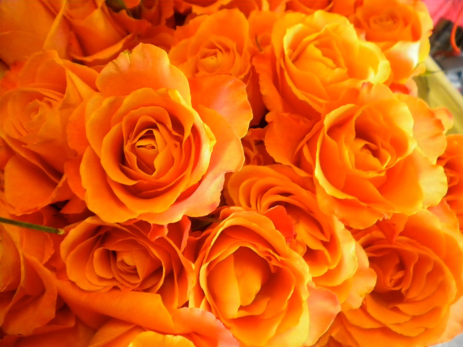 What is the Meaning and History of Orange Roses | Orange roses
