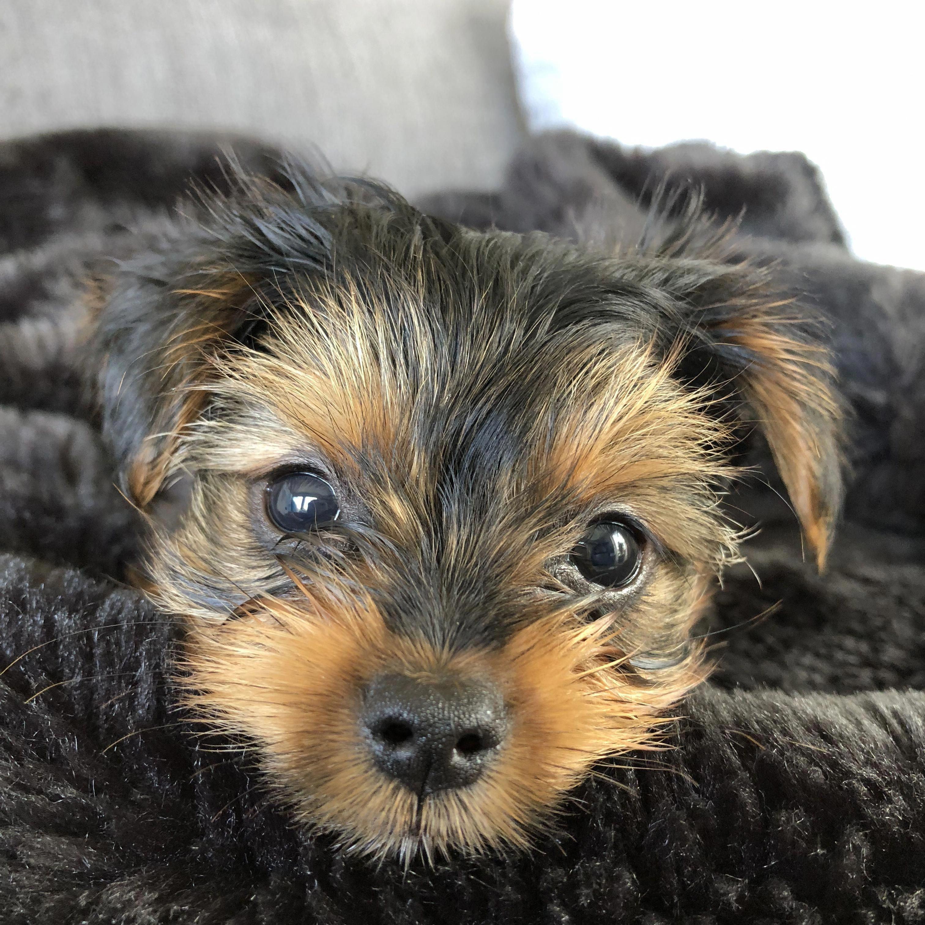 Awesome Yorkshire Terrier Puppies Info Is Offered On Our Web Pages Read More And You Will Yorkshire Terrier Yorkshire Terrier Funny Yorkshire Terrier Teacup