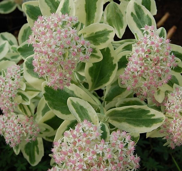 """Sedum 'Frosty Morn' STARTER PLANT (White and Green Variegated Foliage) 4-6"""" tall"""