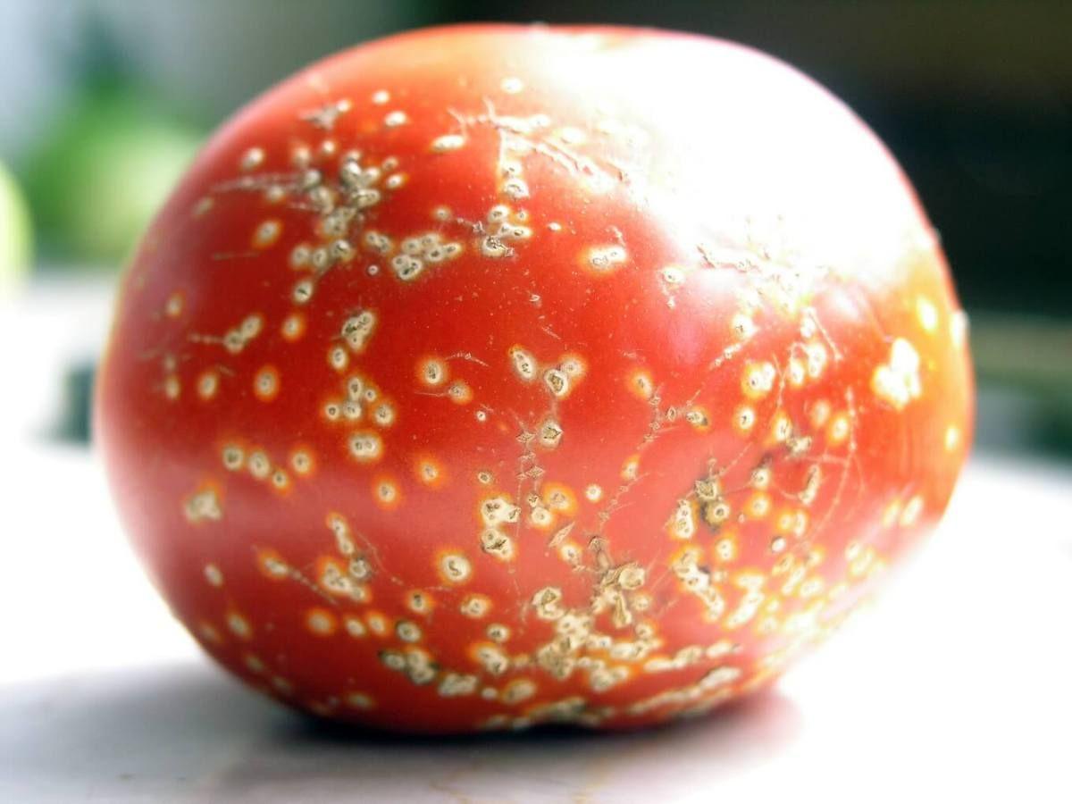 Les maladies et ravageurs de la tomate