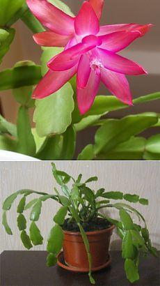 Шлюмбергер цветок фото и уход за ними