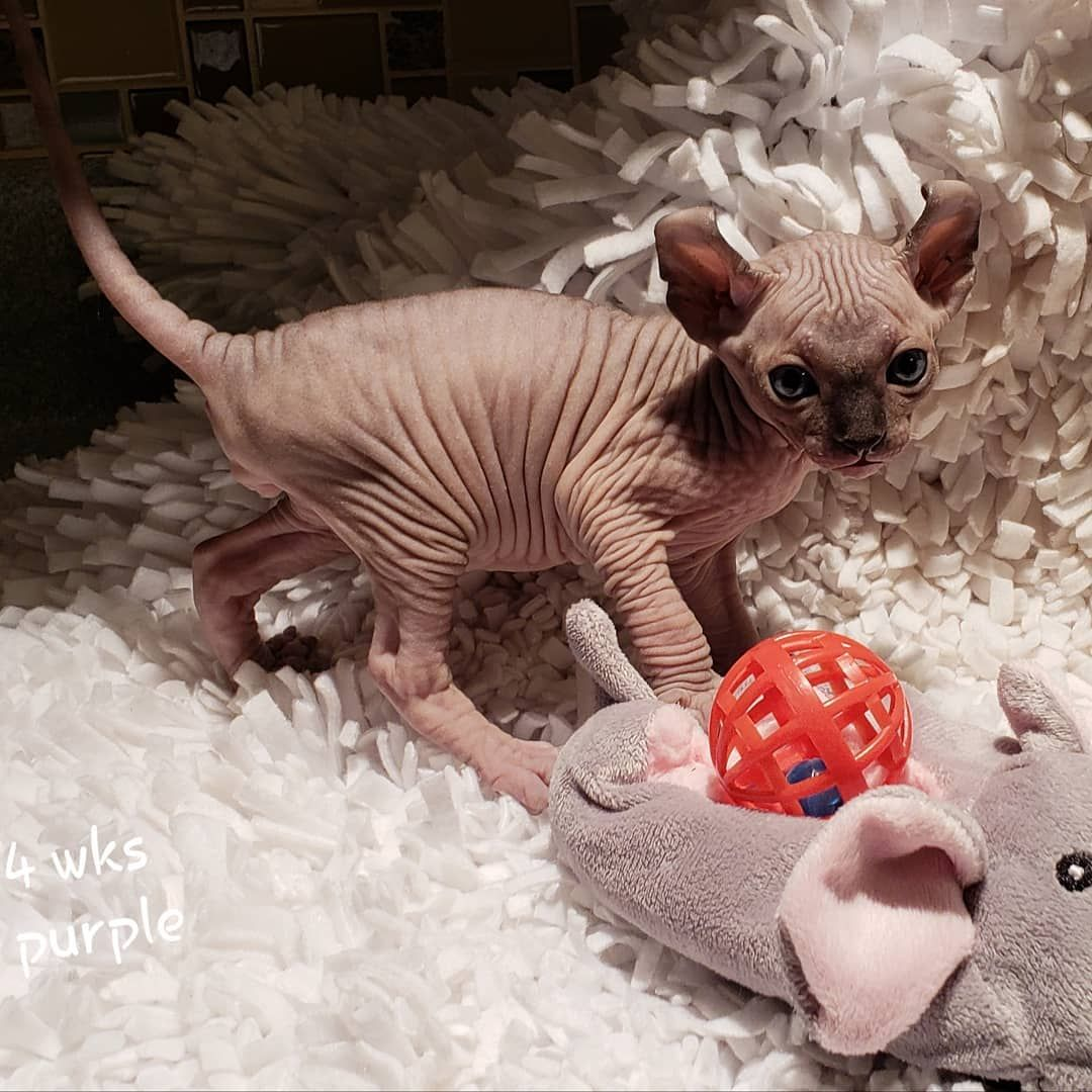 "Strange Sphynx and Elfs on Instagram ""4 weeks of cuteness"