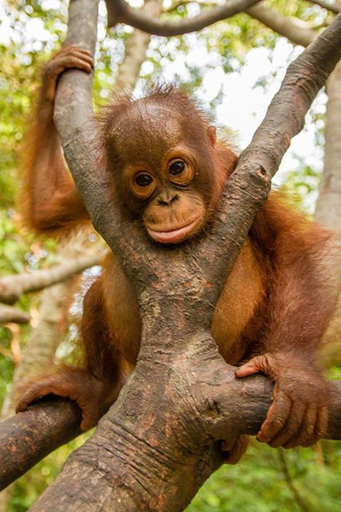 ,is there anything cuter than a baby Orang'