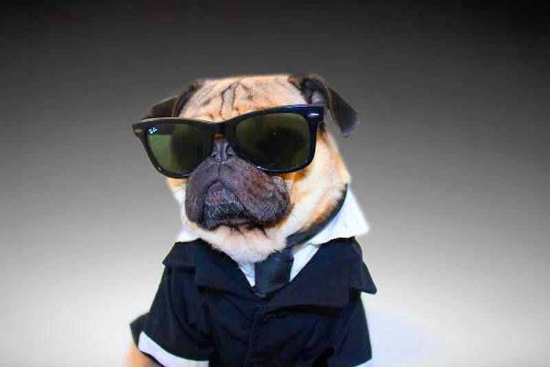 Doug The Pug S Halloween Swag Is Adorable Doug The Pug Pugs In