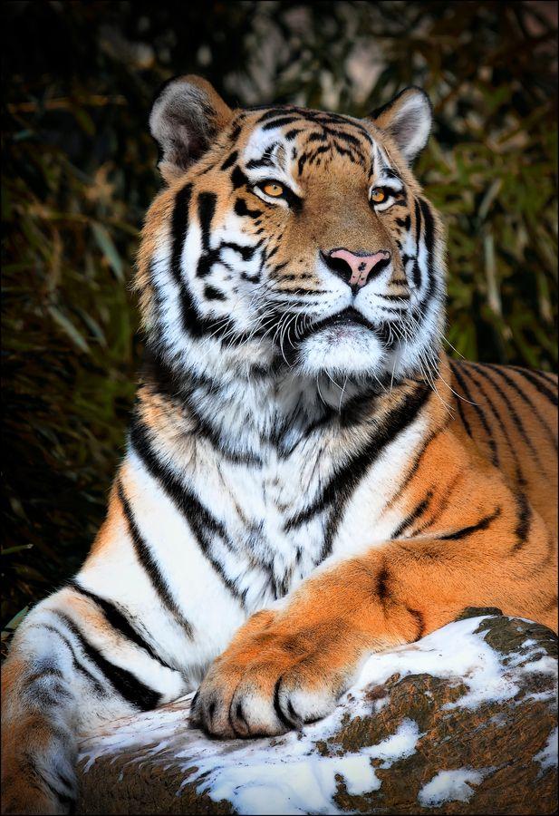 تصویر زمینه ببر Tiger Wallpaper All in Bit Wallpaper