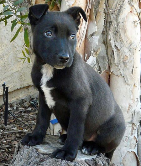 Black German Shepherd Pitbull Mix Puppies Pitbull Mix Puppies