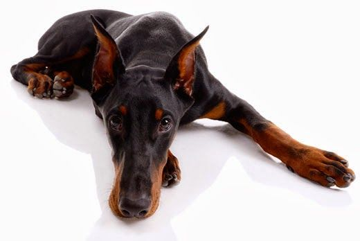 Dawg Business: It's Your Dog's Health!: When Is Hypothyroidism not Hypothyroidism?
