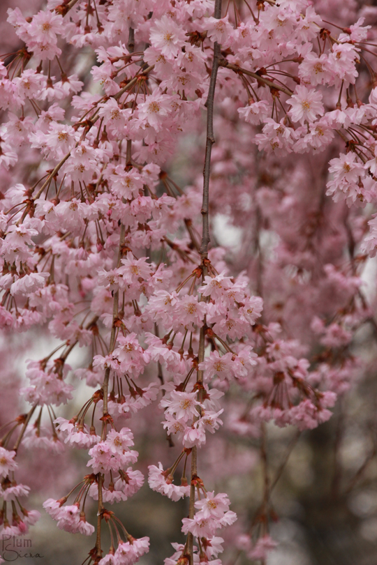Japanese Weeping Cherry Tree Weeping Cherry Tree Cherry Blossom Tree Sakura Cherry Blossom