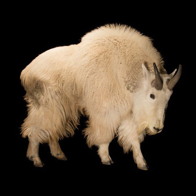 Photo by @joelsartore | A male Mountain goat at the Cheyenne Mountain Zoo. Please #follow me at @joelsartore to see more beautiful species from the #PhotoArk. #joelsartore #photooftheday