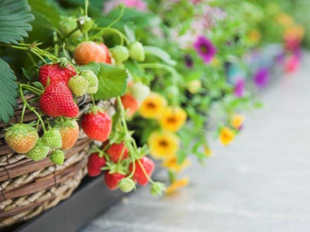 Klein bleibende Obstbäume werden auch Balkon-Obst genannt. Sie lassen sich problemlos in Pflanzgefäßen auf Balkon und Terrasse anbauen – und mit der richtigen Sortenwahl können Sie überraschend viele Erdbeeren, Äpfel, Birnen oder Pfirsiche ernten.