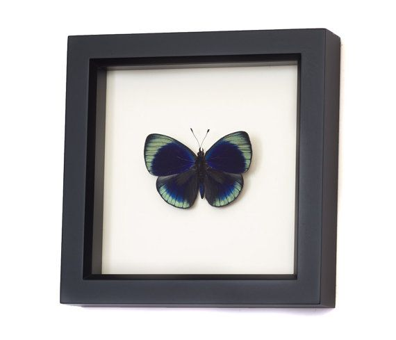 Real Framed Butterfly Charles Darwin Taxidermy Display