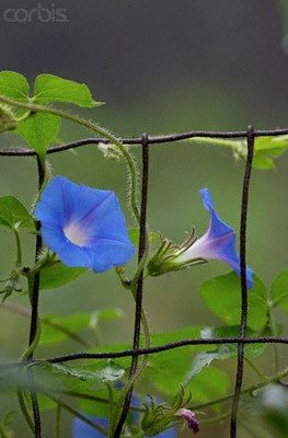 Heavenly Blue Morning Glory One Of My Favorite Annuals This Needs At Least 6 Hours Of Sunlight To Really Bloom Blue Morning Glory Morning Glory Garden Vines