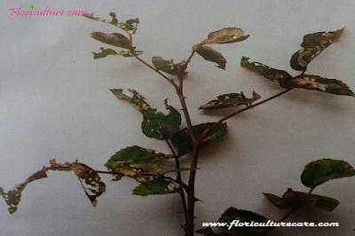 Rose Pest Control Chemical Usage Caterpillar damage