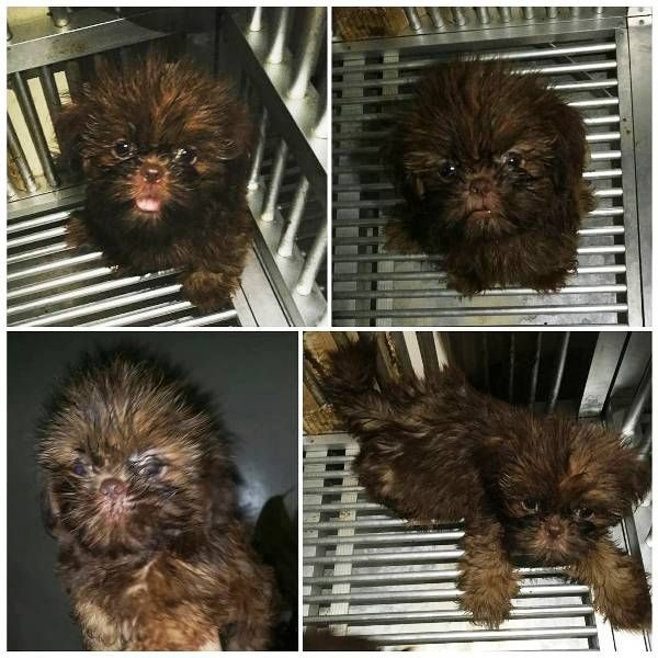 Shih Tzu Puppies For Sale In Ms Shih Tzu Puppy For Sale