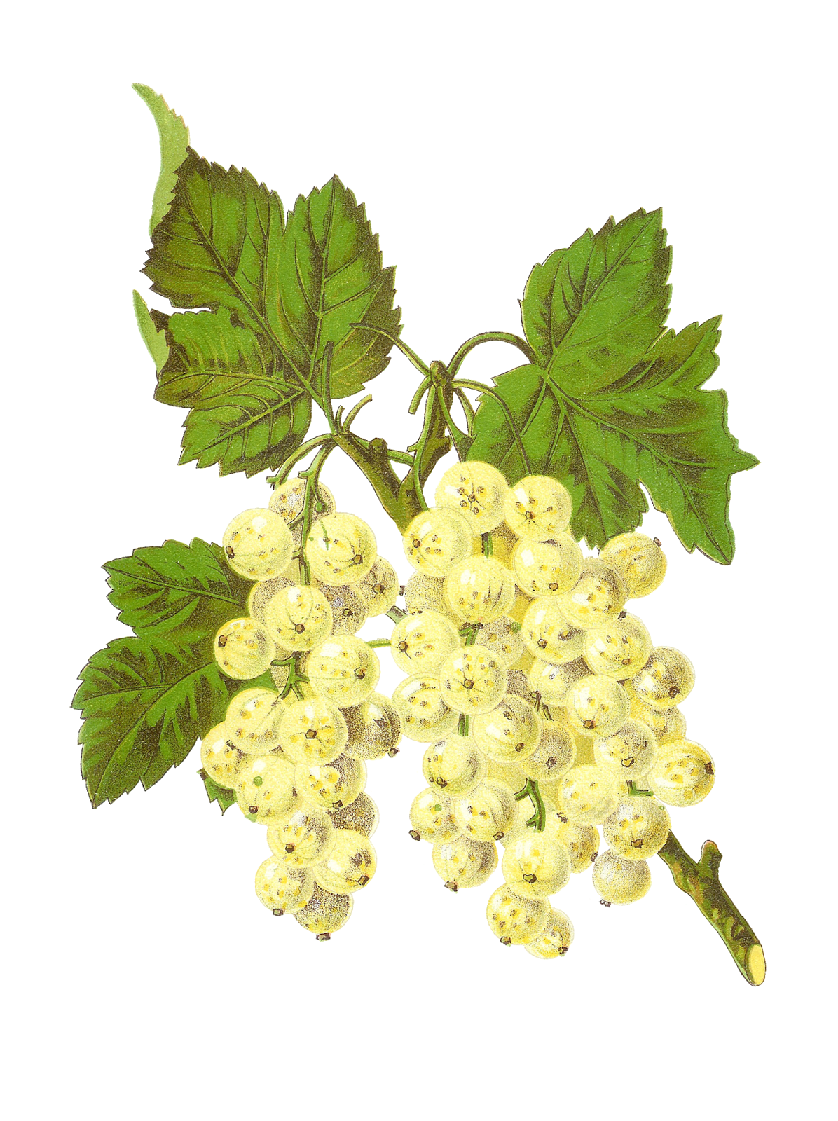 Antique Images: Free Digital Fruit Graphics of White ...