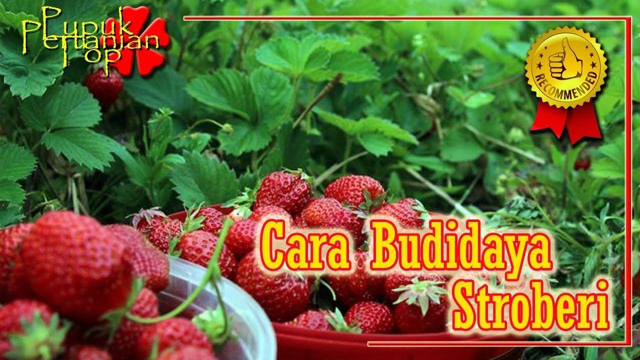 Budidaya Strawberry Cara Menanam Stroberi Dalam Polybag Agar Berbuah