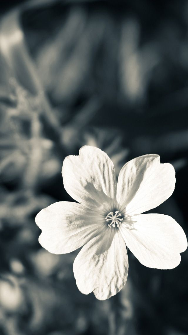 Flowers IPhone 5s Wallpaper