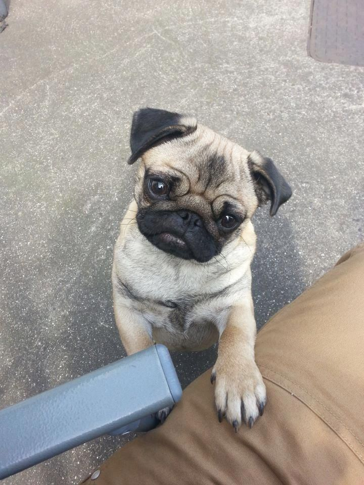 I Need Your Eyes On Me At All Times Understand Pug Mugs Pug