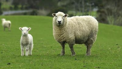 Pin By اسماء اصوات الحيوانات On اصوات Sheep Breeds Funny Sheep Farm Animals Pictures