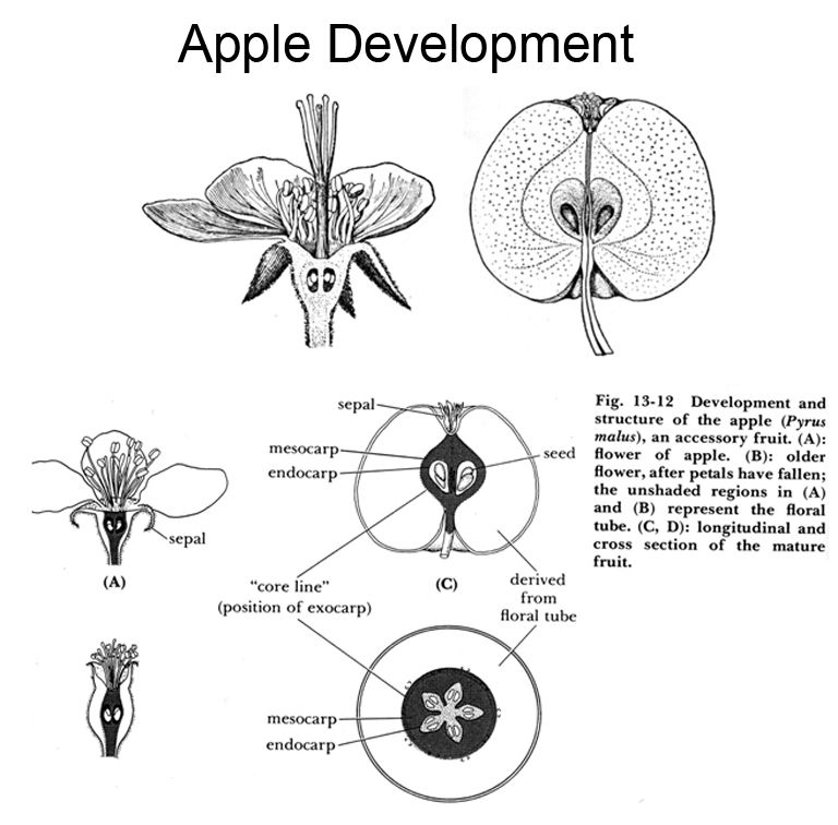 Apple development fruit seeds pinterest fruit seeds lambs apple development ccuart Gallery