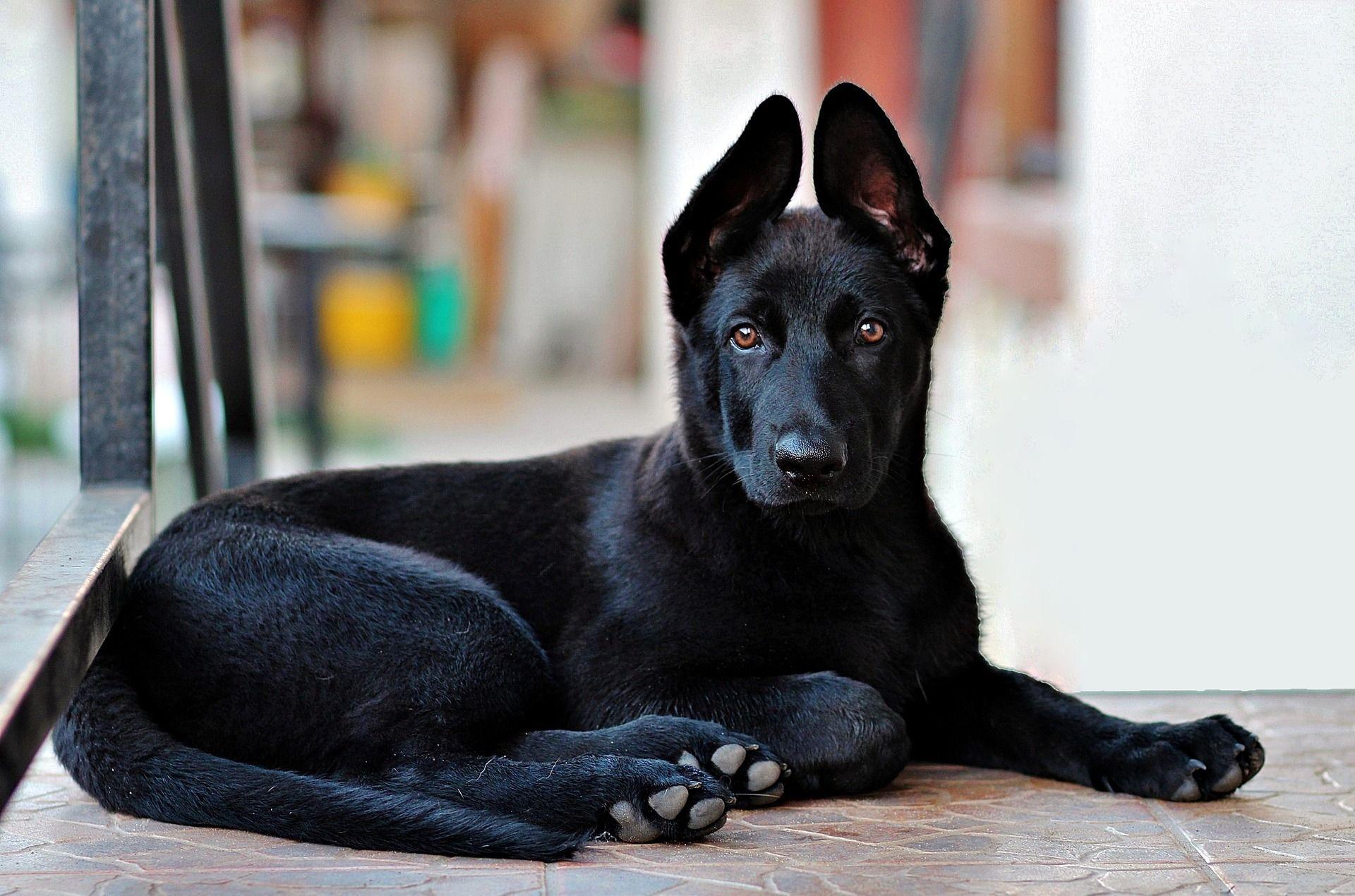 Black German Shepherd Puppy So Cute Black German Shepherd Dog Loss Quotes Boy Dog Names