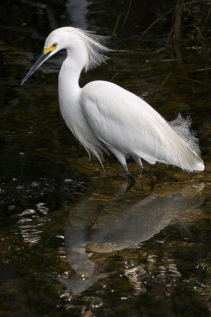 snowy egrets | Snowy Egret (Egretta Thula) Fishing, Shark Valley, E.N.P.