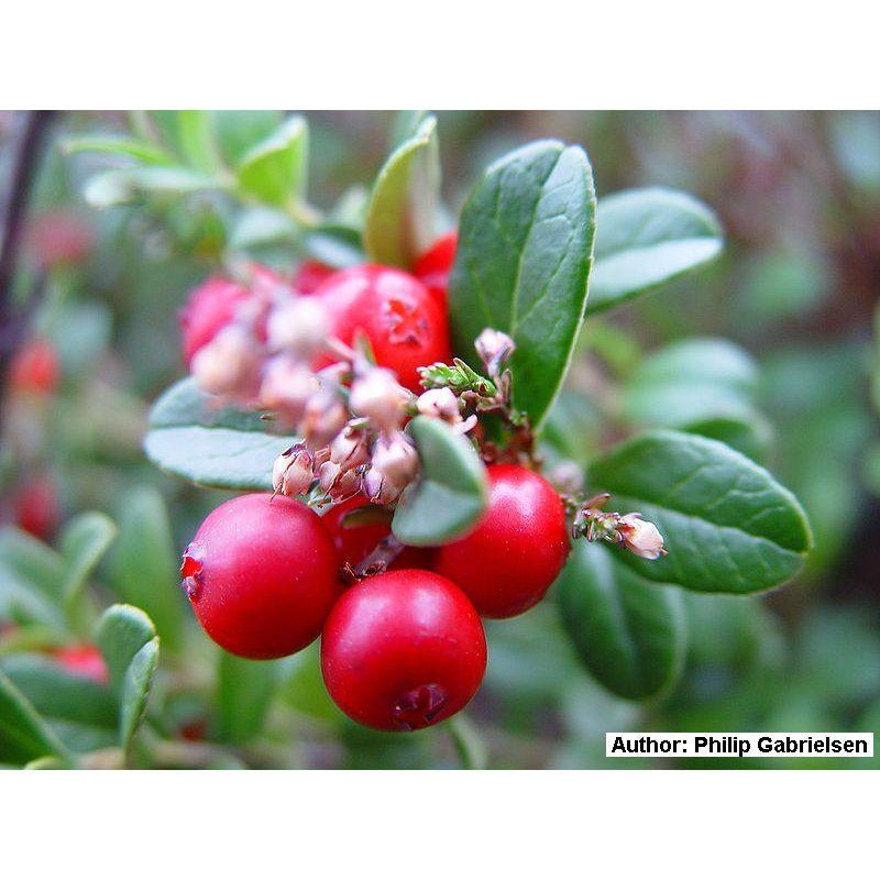 Vaccinium Vitis Idaea Preiselbeere Bio Saatgut 1 95 Saatgut Tomaten Zuchten Preiselbeeren