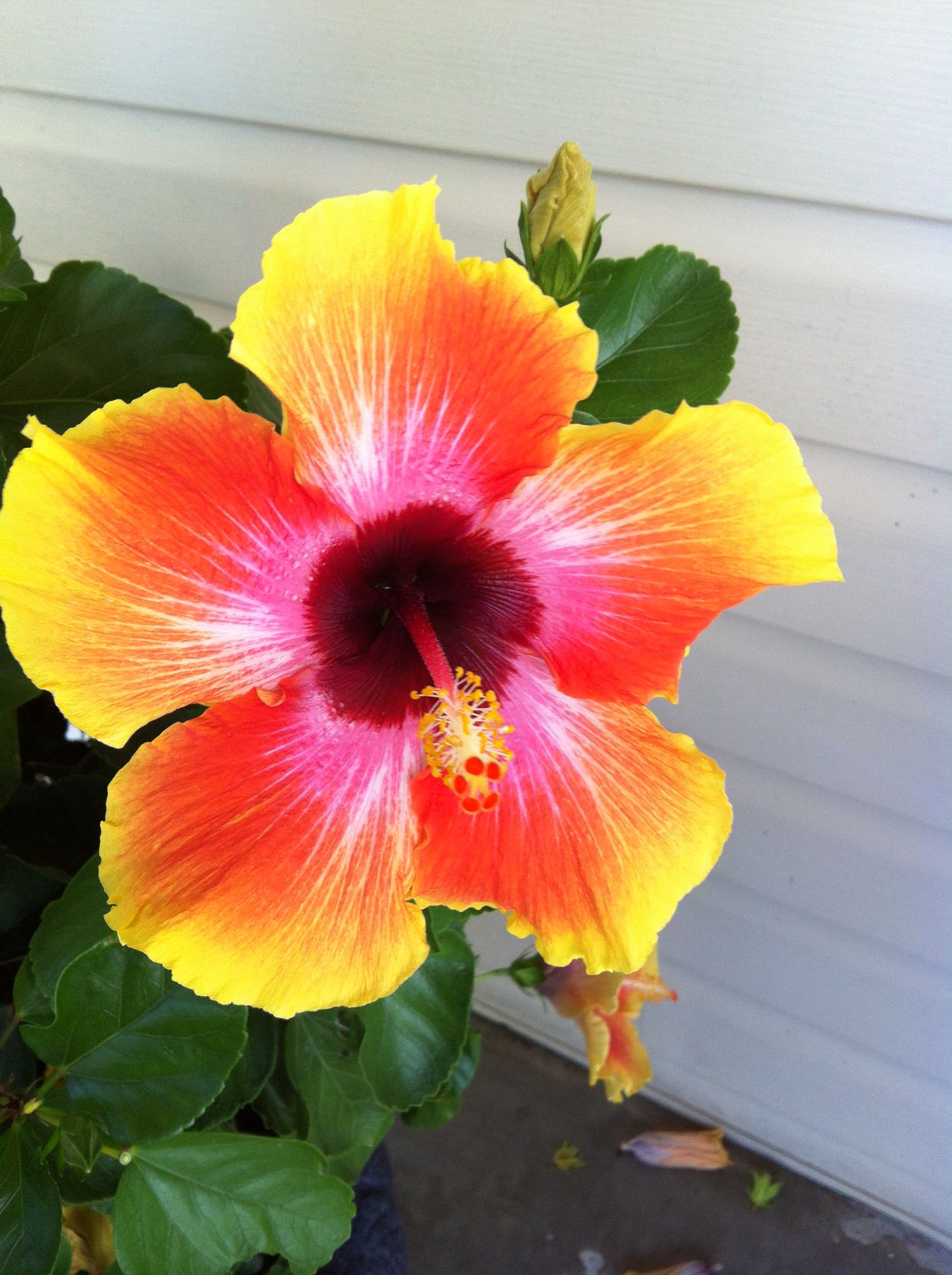 My Carnival Hibiscus Outside Pretties Hibiscus Flowers Plants