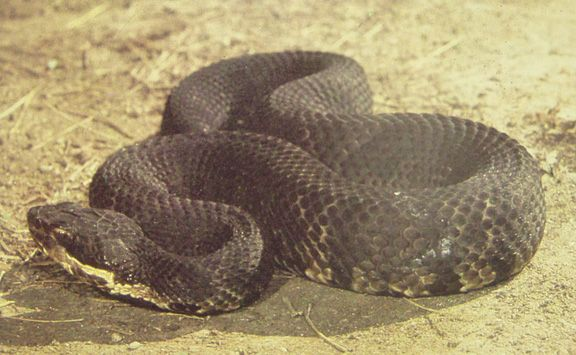 Cottonmouth Snake Pictures Missouri   VENOMOUS Snakes