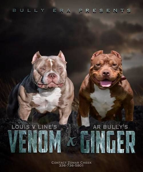 Upcoming Breedings American Bully American Bully Pocket Bullying