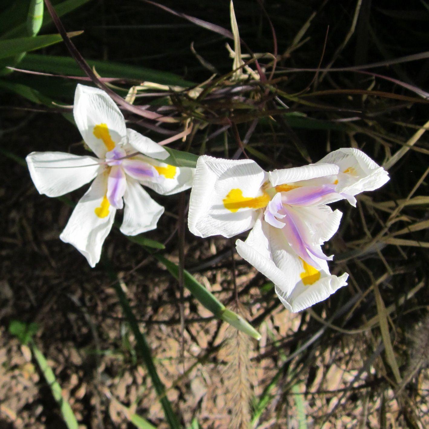 2013 - Butterfly Iris
