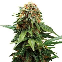 Tangerine Dream  Ganhadora da Cannabis Cup 2010  THC: 25%  Genética: Sativa/Indica (G13/Afghan/Nevilles A5 Haze)  Safra 500gr/m2  http://www.sementemaconha.com/tangerine_dream-p1366/