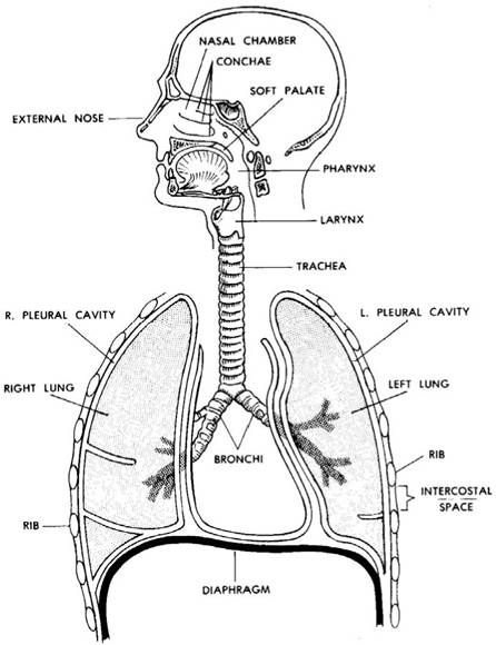 unlabelled human lungs diagram