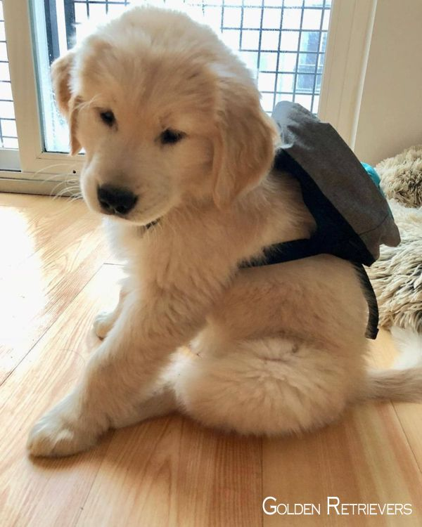 Golden Retriever Puppies Goldenretrieversofinstagram Goldenretrieversworld Cute Baby Animals Cute Puppy Pictures Dogs