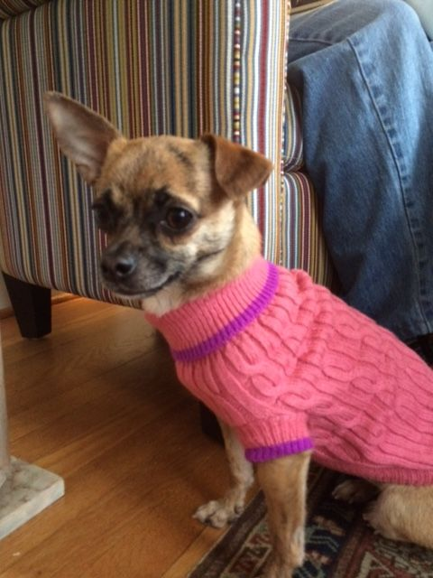 Sweet And Spunky Annie The Chihuahua We Love Her Cute One Floppy