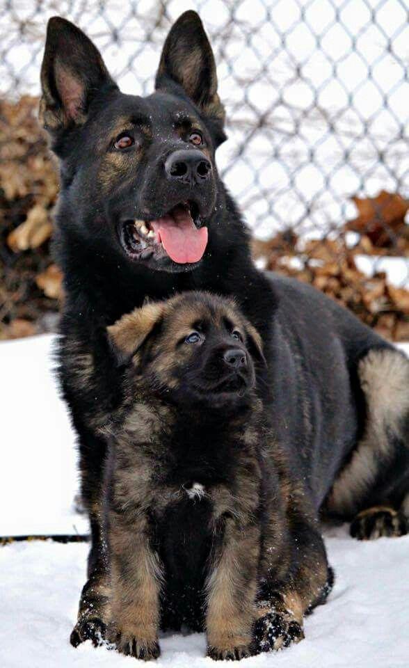 Pin By Joel Neal On Furry Friends 2 Shepherd Dog Breeds German Shepherd Dogs Dog Breeds