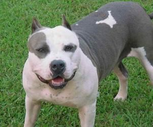 Why Pit Bulls Should Not be Banned