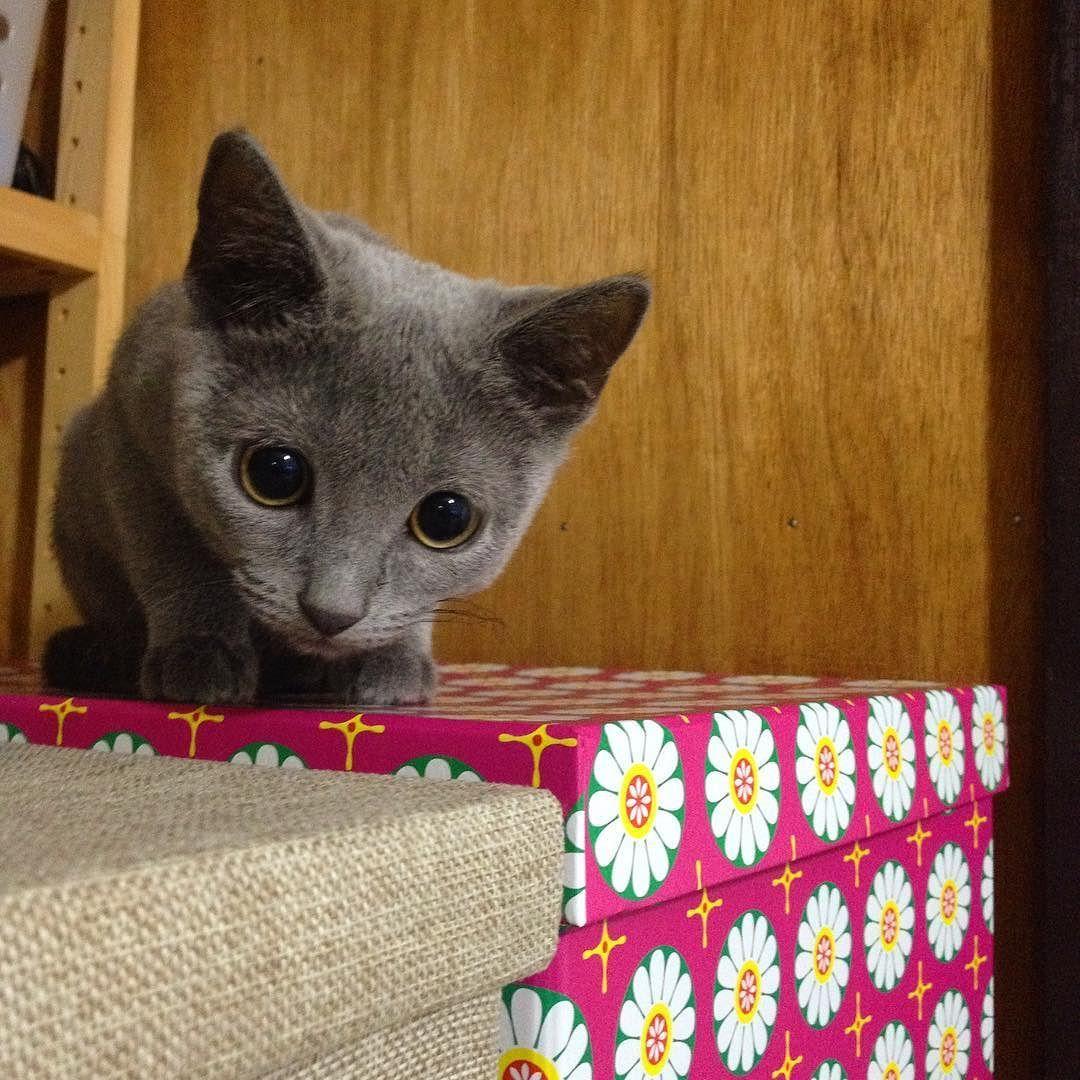 しるこピアスにロックオン #chartreux #シャルトリュー #ねこ #猫 #ネコ #catsofinstagram #catstagram #catlover #グレー猫 #cat by lauper39