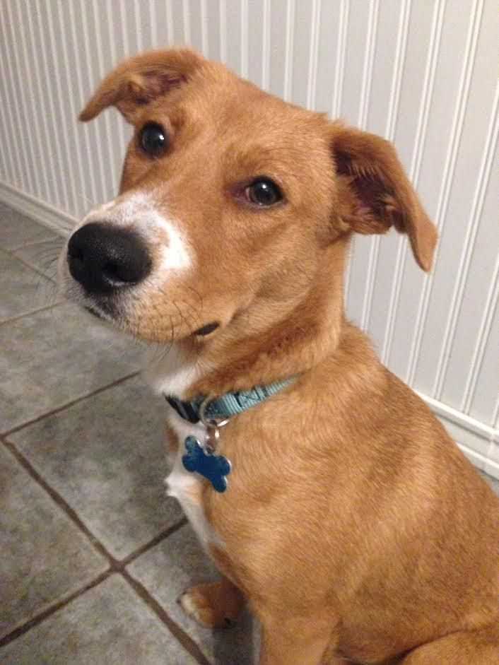 Adopt Zoie on (With images) Shepherd mix dog, Animal