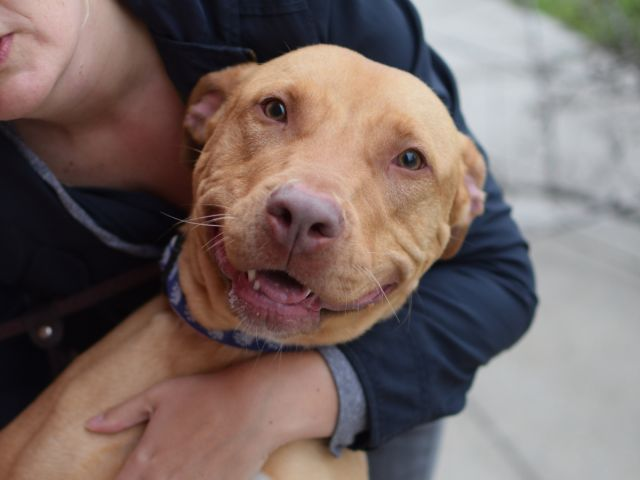SAFE 6-17-2015 by All Breed Rescue Vermont --- Brooklyn Center CADENCE – A1038464 ***RETURNED 06/09/15 – TOO BIG*** SPAYED FEMALE, TAN / WHITE, AM PIT BULL TER MIX, 1 yr, 11 mos RETURN – ONHOLDHERE, HOLD RELEASED Reason TOO BIG Intake condition EXAM REQ Intake Date 06/09/2015
