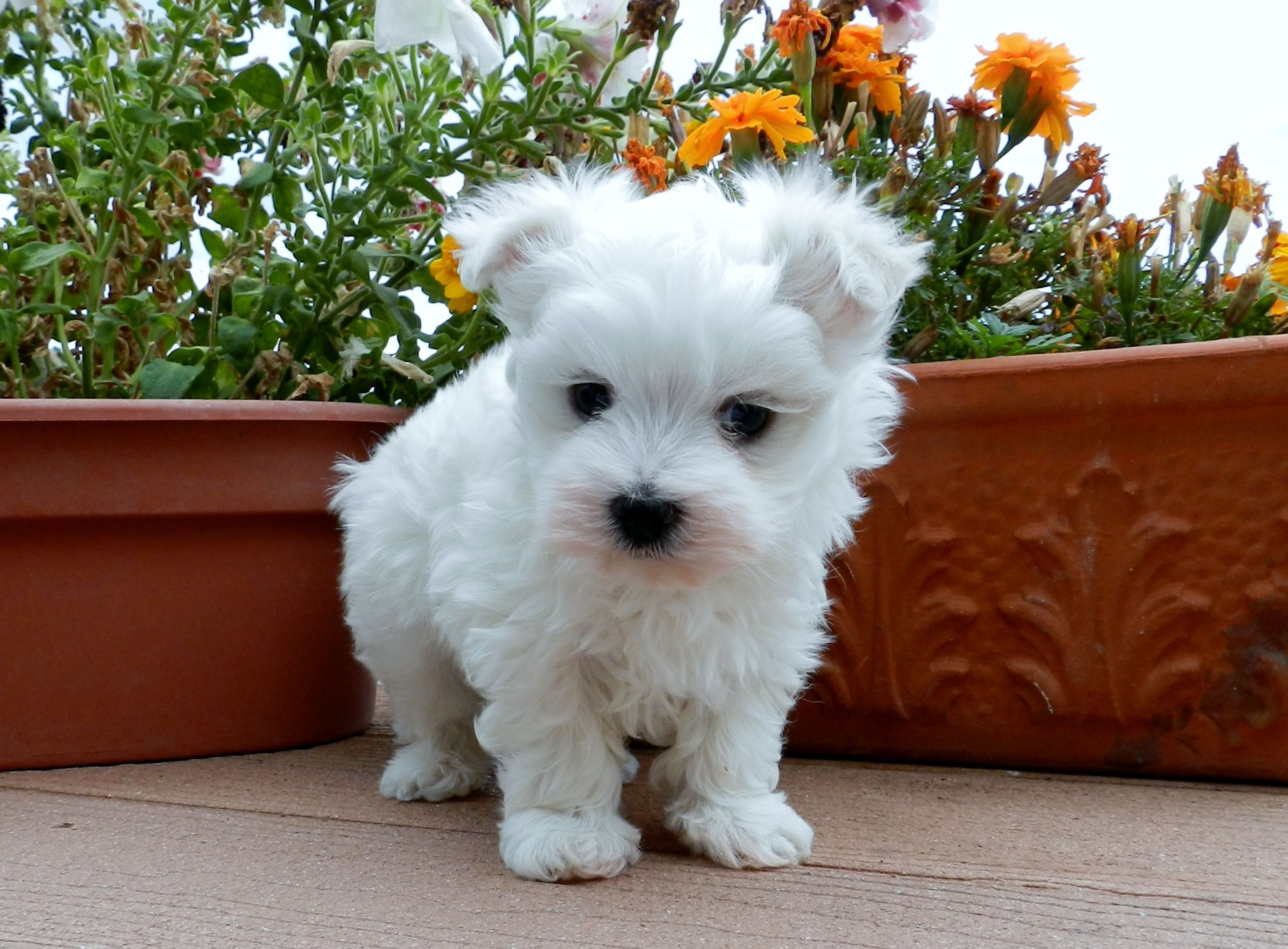 Akc Maltese Puppies For Sale In Oregon Females And Males